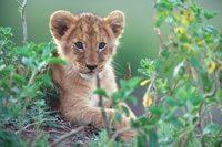 "Disney's ""African Cats"" Movie – Meet the Cast!"