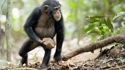 Movie Review: Celebrate Earth Day with Disneynature's CHIMPANZEE