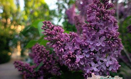 Photography: Lilacs in Bloom Warsaw Poland May 2012