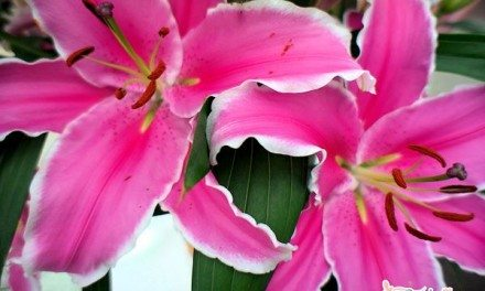 Travel Photography: Amsterdam Pink Lillies