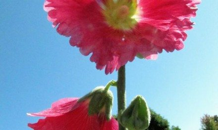 Photography: Orcas Island, WA Hollyhocks Flowers