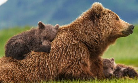 Disneynature BEARS Available on Home Video